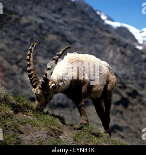 Steinbock; Capra, ibex, - Stock Photo