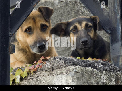Strassenhund, Betteln; Hund - Stock Photo