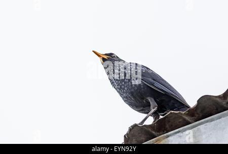 Medium sized bird Blue-whistling thrush with copy space - Stock Photo