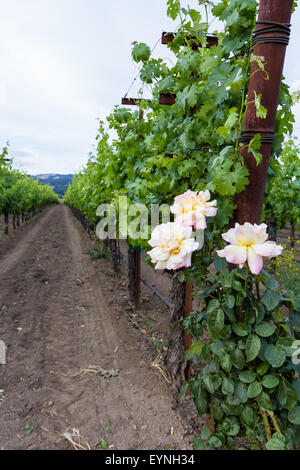 spring green grape vines in clean rows decorated with roses at the ends - Stock Photo