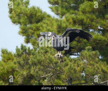 California condor gymnogyps californianus perched on for California chiude l utah