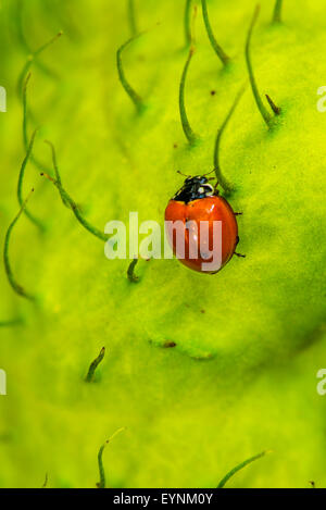 A Spotless ladybird looking for food - Stock Photo
