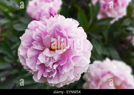 Large pink peony flowering plant in a garden with blurry background.