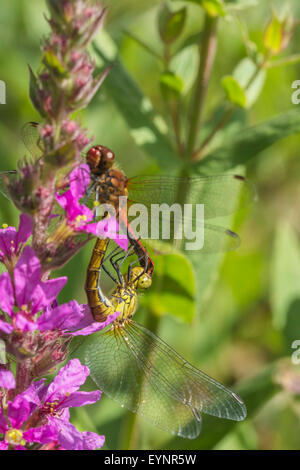 A mating pair of Ruddy Darter, Sympetrum sanguineum, dragonflies. - Stock Photo