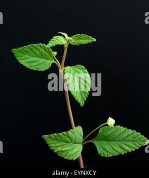 Aztekisches Suesskraut, Lippia dulcis, - Stock Photo