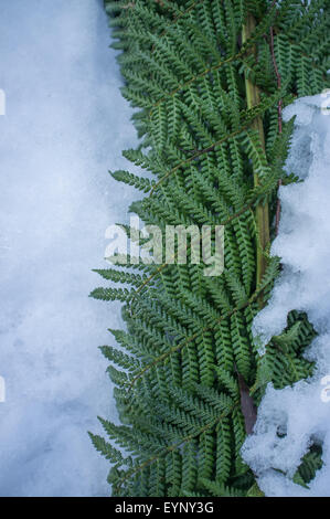 Ferns covered with snow. - Stock Photo