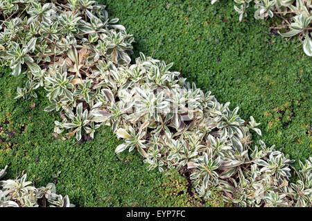 grabbepflanzung sand thymian thymus serpyllum stockfoto lizenzfreies bild 86209135 alamy. Black Bedroom Furniture Sets. Home Design Ideas