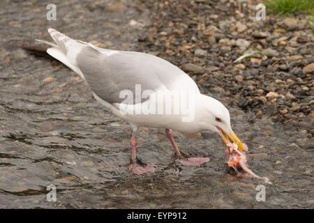 Seagull pecking at salmon chunk in shallows - Stock Photo