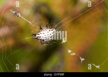 A Spiny-backed orbweaver spider in its web - Stock Photo