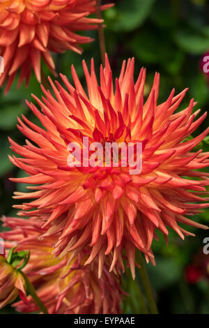 red orange Dahlia Kenora Sunset - Stock Photo