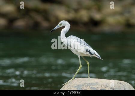 A Juvenile Little Blue Heron fishing - Stock Photo
