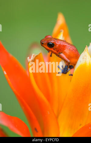 A Strawberry Dart frog sitting on a flower - Stock Photo