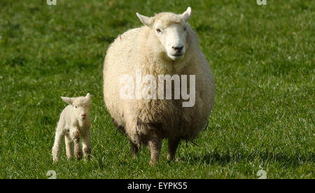 Mother sheep and her lamb looks at the camera in a sheep farm station in New Zealand. copy space - Stock Photo