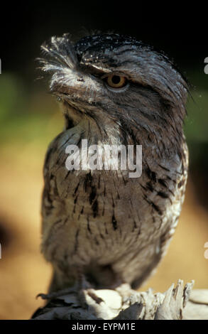 The Tawny frogmouth (Podargus strigoides) is a species of frogmouth native to and found throughout the Australian - Stock Photo