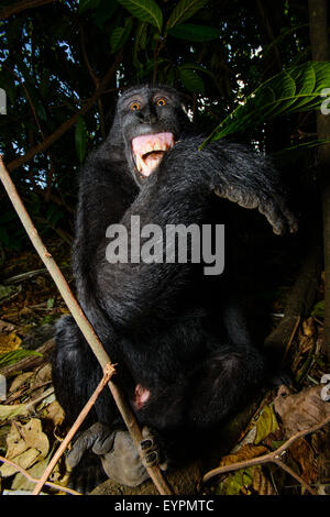 A Celebes black crested macaque from north sulawesi shows its teeth to manifest that it is uncomfortable - Stock Photo