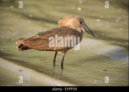 Hamerkop (Scopus umbretta), Lake Ziway, Ethiopia - Stock Photo