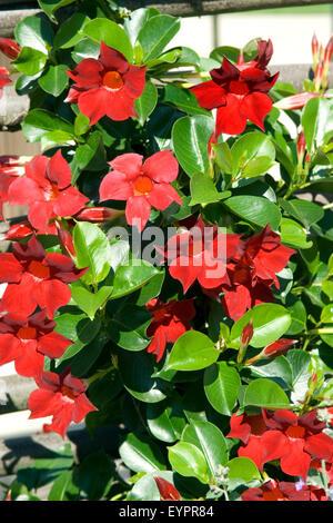 Dipladenia Sanderi; Sundaville Dark Red, - Stock Photo
