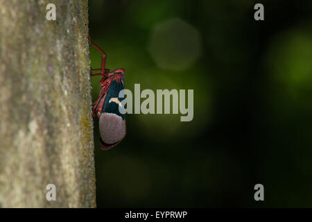 A nocturnal moth from is resting on the tree of Tangkoko National Park in Celebes, North Sulawesi, Indonesia. Perfect - Stock Photo