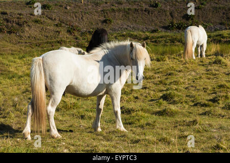 single horse on meadow in Iceland - Stock Photo