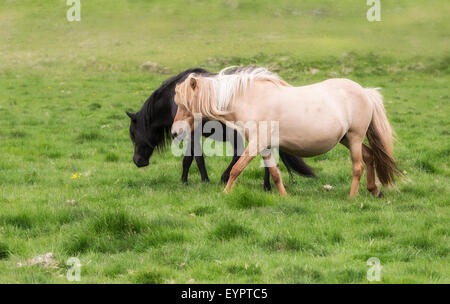 horse love, black and white on the meadow, Iceland - Stock Photo