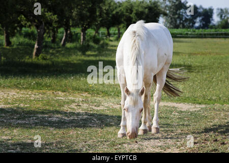 cute single white horse on meadow - Stock Photo
