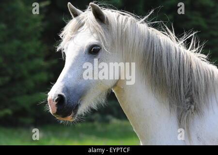 single horse on meadow in Scotland - Stock Photo