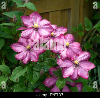 ville de lyon clematis klematis clematis hybride rot stock photo royalty free image. Black Bedroom Furniture Sets. Home Design Ideas