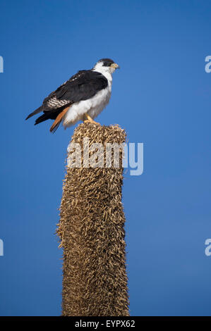 Augur buzzard (Buteo augur) sitting on a Giant Lobelia, Sanetti Plateau, Bale Mountains National Park, Ethiopia - Stock Photo