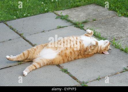Lazy sleepy cat resting on day time, resting cat - Stock Photo
