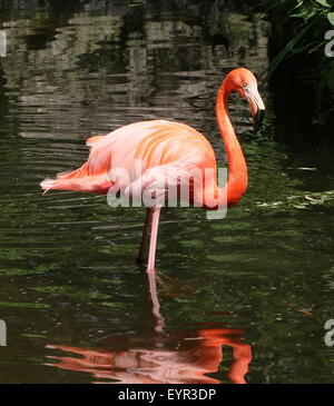 American or Caribbean flamingo (Phoenicopterus ruber) - Stock Photo