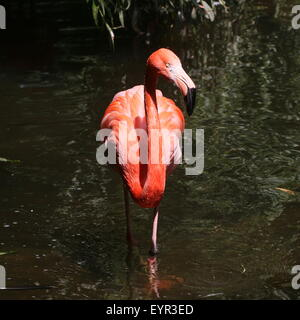 American or Caribbean flamingo (Phoenicopterus ruber) foraging in a stream, facing camera - Stock Photo