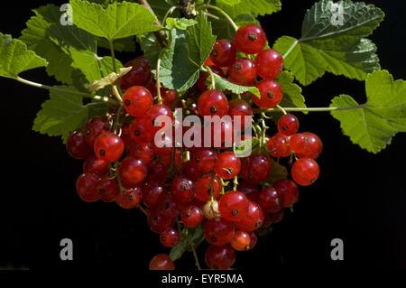Johannisbeeren, Rote Johannisbeeren, Ribes rubrum, Heilpflan - Stock Photo