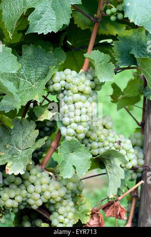 Weisser Riesling, Weisse Weintrauben, Wein, Weinpflanzen, Reben, Fruechte, Beeren, Obst,  - - Stock Photo