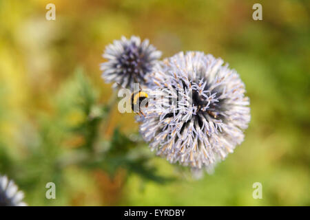Bumbleee takes off from pale mauve flower head against green foliage blurred background. - Stock Photo