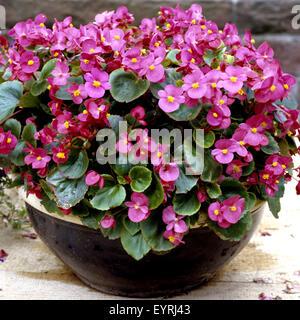 Begonie, Begonia semperflorens - Stock Photo