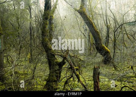 Wood, tree, moss, mystical, gloomy, green, morning, fog, old, creating, Germany, Bavaria - Stock Photo