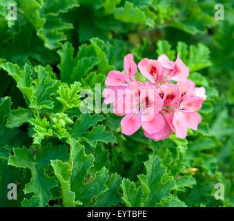 Duftgeranie, Pelargonium - Stock Photo