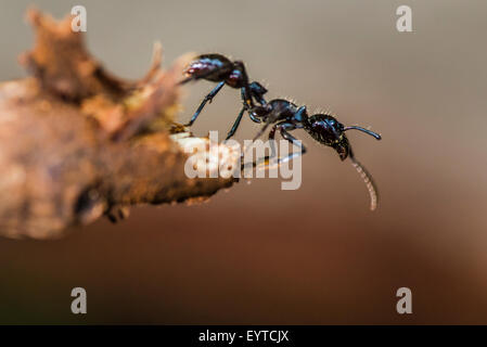 A Bullet ant walking looking for food
