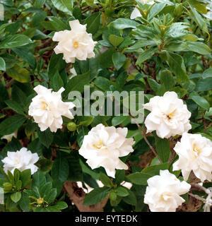 Gardenie; Gardenia jasminoides; - Stock Photo