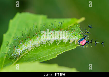 A larva of the Yellow-tufted Prepona butterfly - Stock Photo