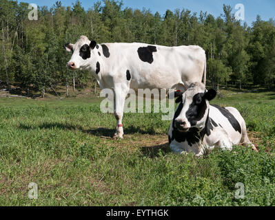 Two Holstein dairy cows in green pasture. - Stock Photo