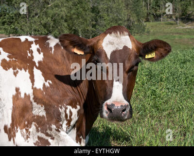 Swedish Red & White Dairy Cow resting, green pasture. - Stock Photo