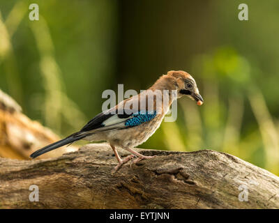 Eurasian Jay depicted perched on an old dilapidated wooden tree stump. 'Isolated against an illuminated green forest - Stock Photo