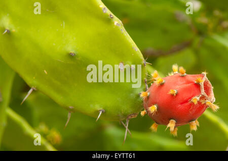 Indian Fig Prickly Pear, Opuntia ficus-indica at Mitla, Mexico - Stock Photo