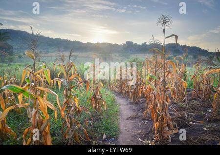 Corn (maize) fields in the Cuanza Sul province of Angola at sunrise - Stock Photo