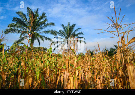 Corn (maize) fields in the Cuanza Sul province of Angola at sunrise, and palm trees in between - Stock Photo