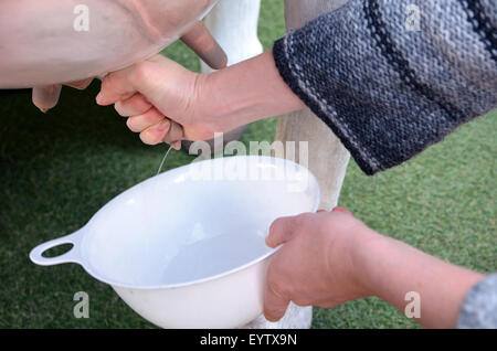 Hands of a woman milking fresh milk from a dairy cow. Food concept close up - Stock Photo