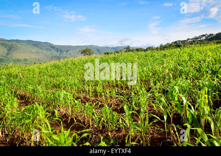 Crops of maize growing in Angola - Stock Photo