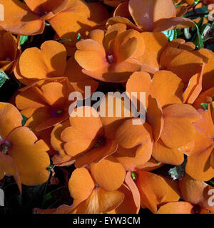 Impatiens-Neu-Guinea; Fleissiges Lieschen - Stock Photo