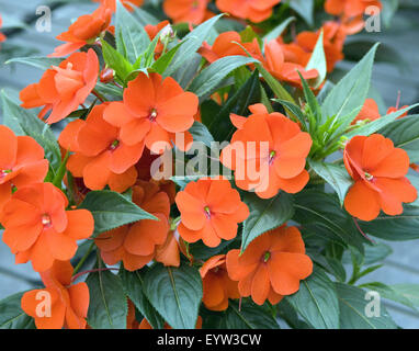 Impatiens-Neu-Guinea-Hybriden; - Stock Photo
